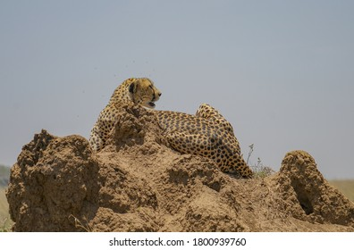 Cheetah searches for prey in Serengeti National Park