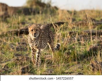 Cheetah searching prey at Masai Mara