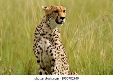 Cheetah searching for prey in the savannah