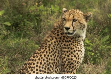 Cheetah in Serengeti Plains