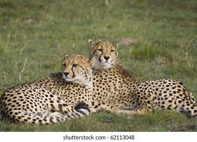 Cheetah sisters on grassland