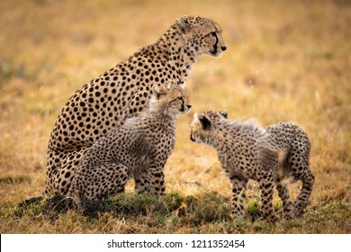 Cheetah sits in grass with two cubs
