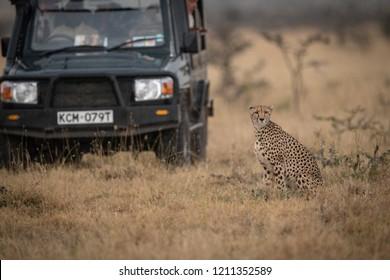 Cheetah sits in long grass beside truck