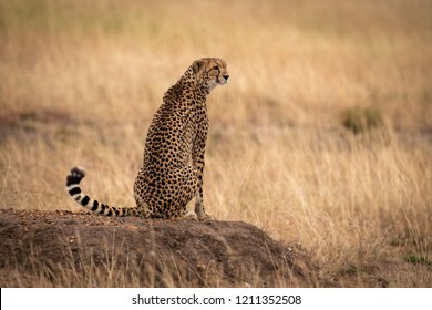 Cheetah sits on earth mound in grass