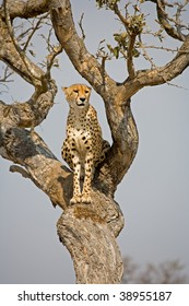 Cheetah sitting in a tree watching for its prey in South Africa