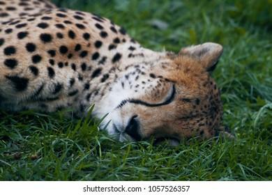 sleeping cheetah images stock photos vectors shutterstock