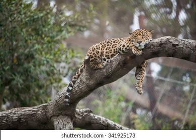 cheetah sleeping on tree zoo guepard stock photo edit now