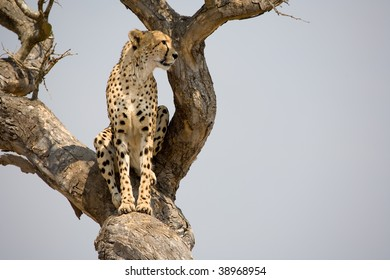 Cheetah in South Africa, sitting in a tree