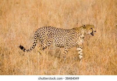 Cheetah stalking in long grass