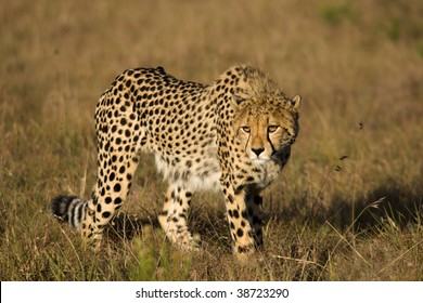 Cheetah stalking on the plains.