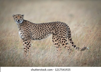 Cheetah standing in grass appearing to smile