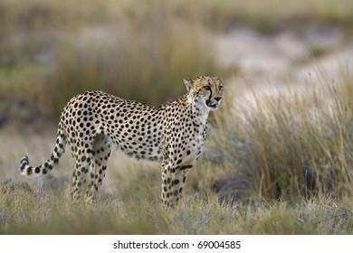 Cheetah standing in Grassland; Acinonyx jubatus; South Africa