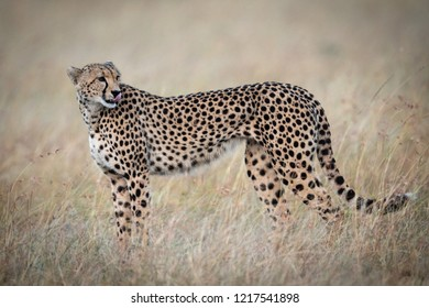 Cheetah standing in long grass licking lips