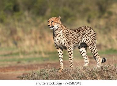 Cheetah standing on a mound in Masai Mara Grassland