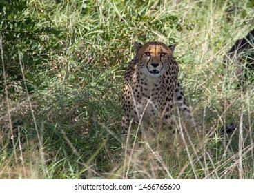 A Cheetah is standing in the savannah grass near a major road through the Caprivi-Strip in Namibia during summer