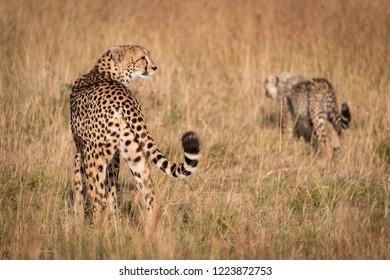 Cheetah stands in long grass with cub