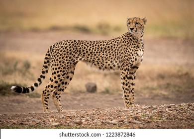 Cheetah stands on dirt track turning head