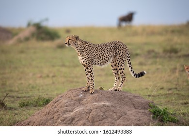 Cheetah stands on a small hill
