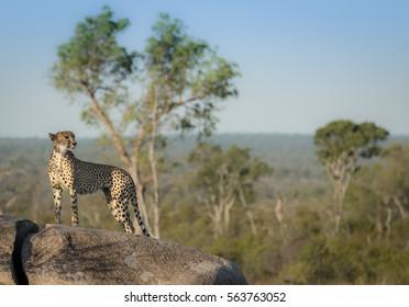 A cheetah stands regally on a fallen branch