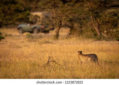 Cheetah stands staring at truck on savannah