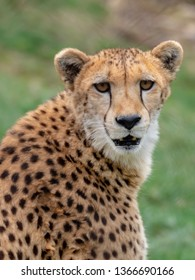 Cheetah staring right at you!