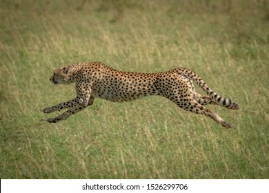 Cheetah stretches legs running at full speed
