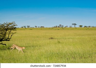 A cheetah in it's stride running in an unusually wet and green savanna landscape