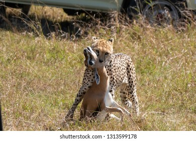 A cheetah suffocating the gazelle after the hunt inside Masai Mara national reserve during a wildlife safari