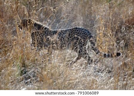 Cheetah Tall Grass Pilanesberg National Park Stock Photo