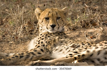 Cheetah in Thornybush Game Reserve South Africa