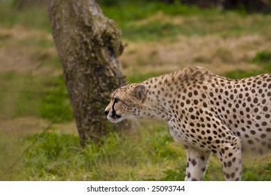 Cheetah Through The Grass
