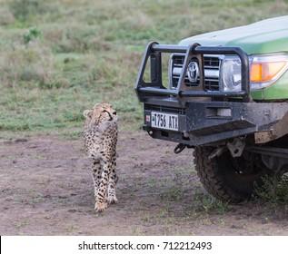 CHEETAH, TOYOTA CAR, SERENGETI, TANZANIA - 10 MARCH 2017: The young cheetah is watching the car. On 10 March 2017, national park Serengeti, Tanzania