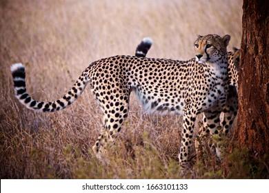 Cheetah Under The Full Moon Light In Kenya