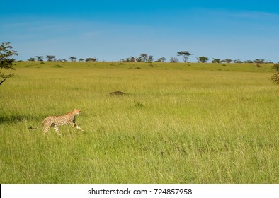 A cheetah in an unusually wet and green savanna landscape