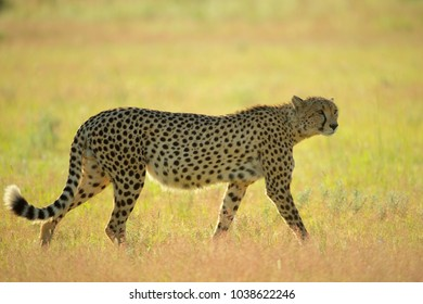Cheetah walking about the grass with her pups close by.