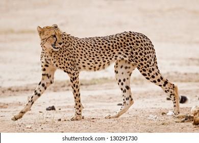 Cheetah walking in dry riverbed; Acinonyx jubatus