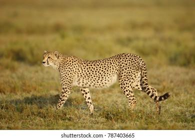A cheetah walking on the Serengeti Plains