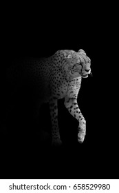 cheetah walking out of the dark and into the light, africa wildlife wallpaper