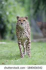 cheetah walking in search of prey