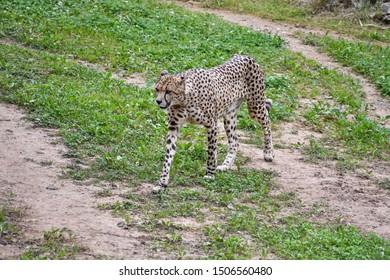 Cheetah walking through his domains