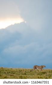 Cheetah walking through a savannah  in Masa Mara Game Reserve, Kenya