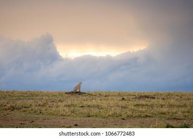 Cheetah walking through a savannah on a rainy evening in Masa Mara Game Reserve, Kenya