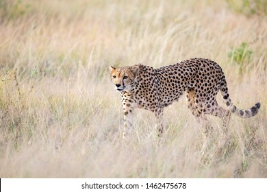 The cheetah walks in the high grass of the savannah looking for something to eat