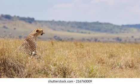 Cheetah watching over the Kenyan plains