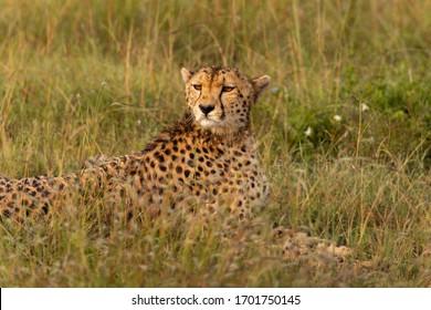 Cheetah in the wild savannah