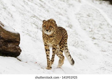 cheetah in the winter