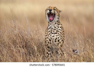 Cheetah yawning, Serengeti National Park, Tanzania.
