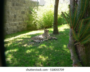 cheetah in a zoo in the Czech Republic lying under a tree in the grass