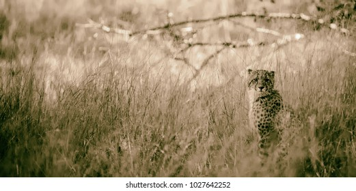 Cheetahs (Acinonyx jubatus soemmeringii) in the Okavango-delta in Botswana