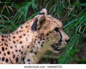 Cheetahs in a captive environment
